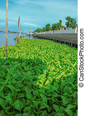 Water Hyacinth - the water hyacinth in the chaophraya river