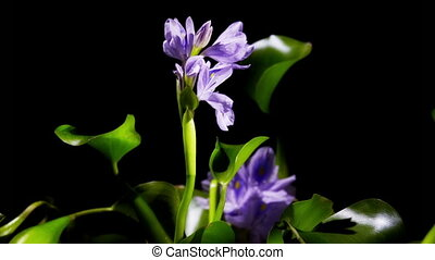 Water Hyacinth Timelapse