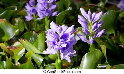 Water Hyacinth Timelapse - Blooming water hyacinth flower....