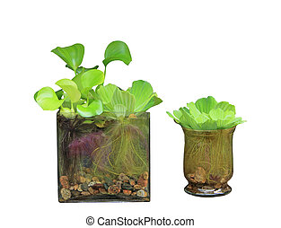Water Hyacinth - Water hyacinth and Pistia Stratiotes in ...