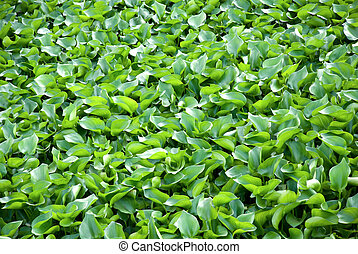 water hyacinth - Water Hyacinth cover a pond.