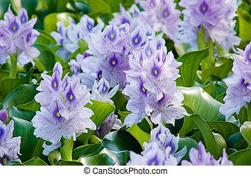 Water Hyacinth - Water hyacinth (Eichhornia crassipes)