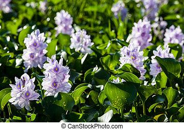 water hyacinth - Water hyacinth, light purple flower, ...