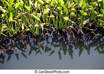 Water hyacinth weed of pond