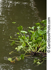 Water hyacinth - Weed, water hyacinth, water barrier to all ...