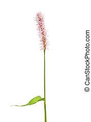 Water knotweed (Persicaria amphibia)