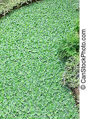 Water lettuce is often called water cabbage - Pistia is a...