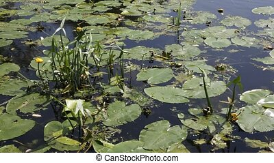 Water lilies close to the bank of a river.