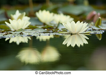 Water lilies floating on water