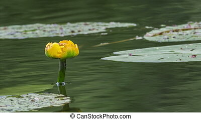 Water lilies - yellow flower of lily in the old pond