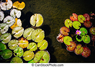 Water lilies growing in a shallow pond