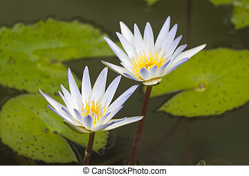 Water-lilies in a pond