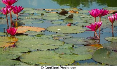 Water lilies in a pond. Shoot with panning