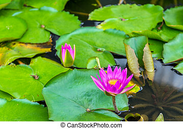 Water lilies in a pond, the city of Singapore