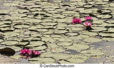 Water lilies in lake