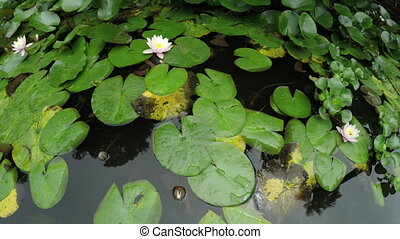 Water lilies in pond