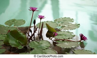 Water lilies in Thailand at sunny day