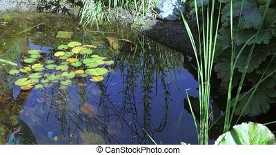 Water lilies in the city pond - In the city pond park...