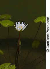 Water-lilies in water