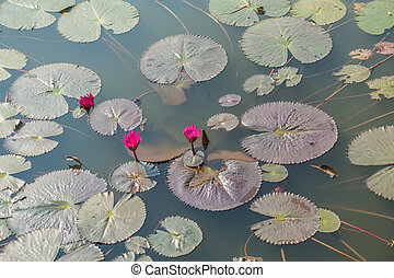 water lilies, nymphaea pubescens