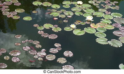 water lilies on the lake - water lilies on the tranquil lake
