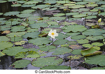 Water-lilies on water