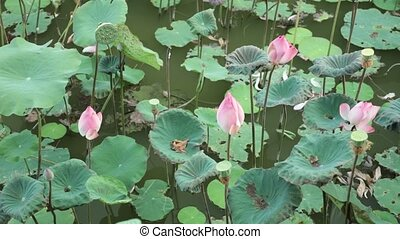 Water Lilies Pink Stock HD Footage