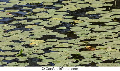 Water lilies - Leaves of water lilies on the water,panorama