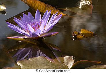 Water lilly bloom