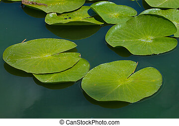 water lilly blossoms in summer day