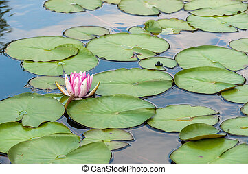 Water lilly in a pond