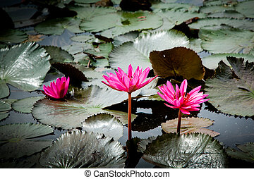 water lilly or Thailand