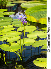 Water lilly