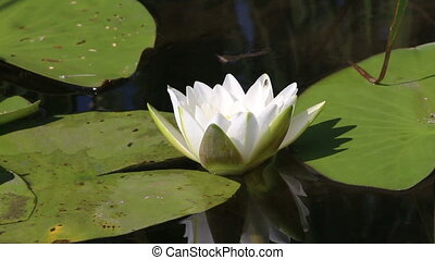 water-lily, пруд, крупный план, цветок, leaves