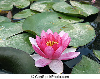 A pink water lily floating in a pond.