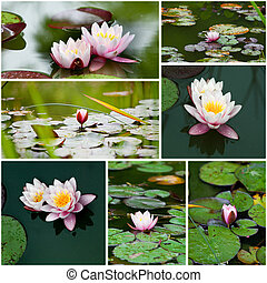 water lily  collage.