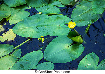 Cropped shot of a water lily in the pond. Selective focus, natural light.