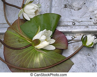 White water-lily cutted on bottom of boat