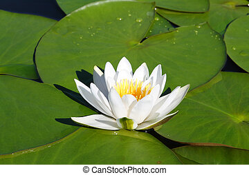 water-lily flower and leaves