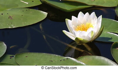 water-lily flower and leaves close-up on pond