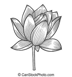 Water Lily flower illustration, line pattern. Vector...