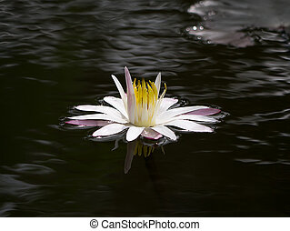 Water lily flower on the dark water.