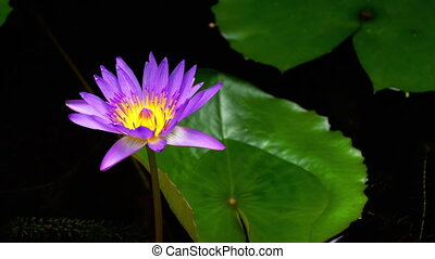 Water Lily Flower vibrant colour
