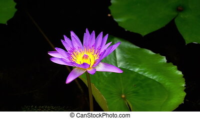 Water Lily Flower vibrant colour - Sun rays at the water...