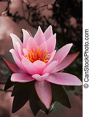 water lily flower - water lily in pond or water. romantic ...