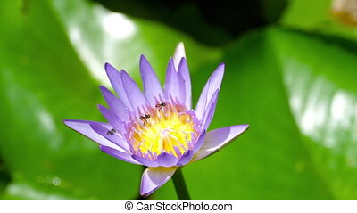 Water Lily Flower with wasps - Wasps pollination at the...
