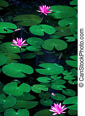 water lily flowers (Pink lotus)