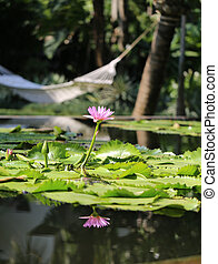 water lily in a pond - beautiful water lily in the pond on...