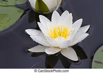 Water lily in a sunny day on lake