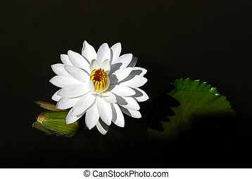 water lily in black water
